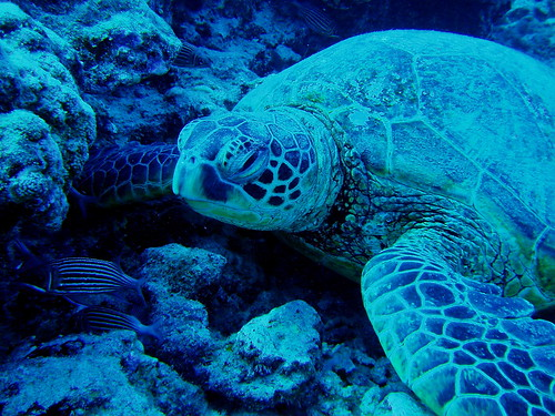 #110 honu = Hawaiian green sea turtle (ハワイアオウミガメ)