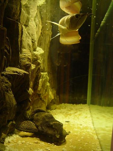 arowana and plecostemus