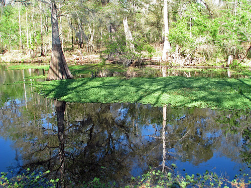 reflection tree nature river florida cypress fl wilderness pasco pascocounty