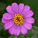 Elegant Zinnia - Photo (c) Christoph Diewald, some rights reserved (CC BY-NC-ND)