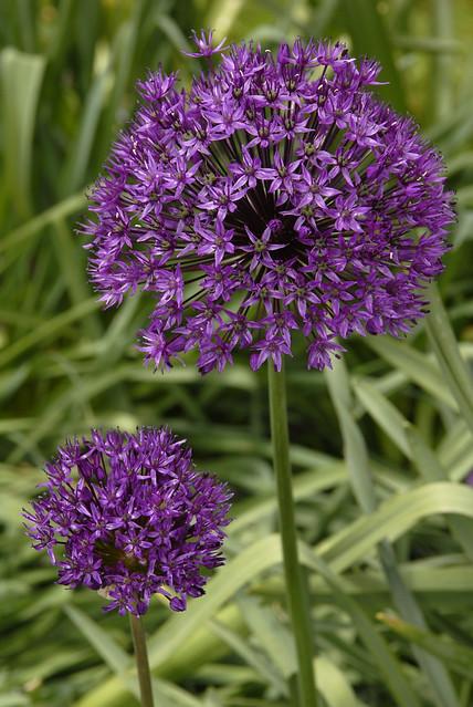 Ornamental Onion Flickr Photo Sharing