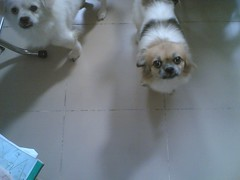 dog breed, animal, dog, pet, tibetan spaniel, lhasa apso, shih tzu, carnivoran,