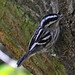 Black-and-white Warbler - Photo (c) Pablo Lèautaud, some rights reserved (CC BY-NC-ND)