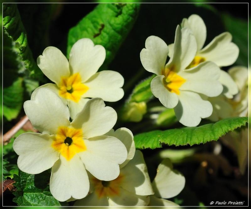 Fiori di primavera il regno delle piante a passeggio for Nomi di fiori bianchi