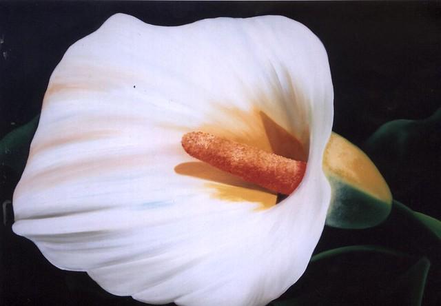 copo de leite - pintura em tela - painting on canvas