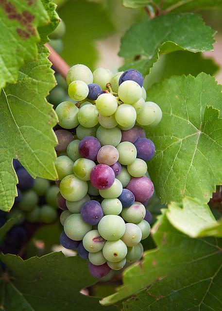 Decorative Grapes For Kitchen