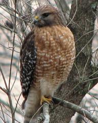 Red-shouldered hawk ... winter pose
