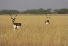animal, prairie, antelope, plain, mammal, fauna, savanna, grassland, safari, gazelle, wildlife,