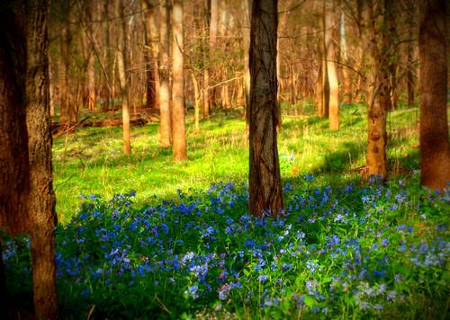 park blue trees sunlight green nature field grass bluebells forest landscape virginia spring woods run bull va wildflowers vignette bullrunpark chrysti platinumphoto bullrunstatepark articulateimages platinumsuperstar