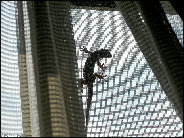 Lizard on the window