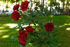 Roses at the Rosicrucians