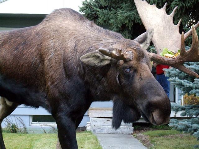Gimp Moose