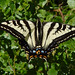 Pale Swallowtail - Photo (c) Franco Folini, some rights reserved (CC BY-SA)