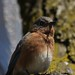 columbus zoo (eastern bluebird)1