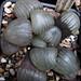 Haworthia springbokvlakensis, VDV116, Middelwater by juan_y_ana