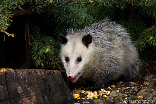 urban animal backyard opossum michigan wildlife riverview scavenger jmpphotography jamesmarvinphelps riverviewmichigan