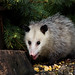 Opossums - Photo (c) James Marvin Phelps, some rights reserved (CC BY)