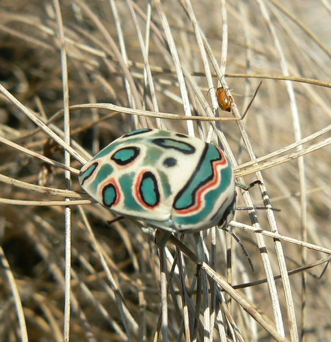 Picasso Bug - Mt. Mabu, Mozambique