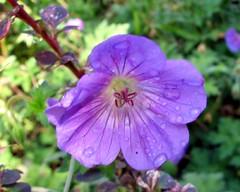 geranium cinereum(0.0), annual plant(1.0), flower(1.0), pinkladies(1.0), plant(1.0), wildflower(1.0), flora(1.0), petal(1.0),