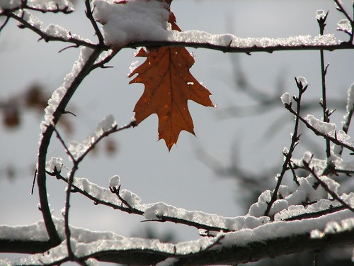 Fresh snow.....lone leaf