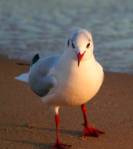 Black Headed Gull #2
