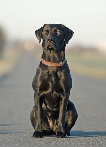 Labrador, 'Ronja' sitting on road