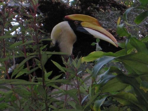 Great Hornbill - Pyin U Lwin - Myanmar (Burma)