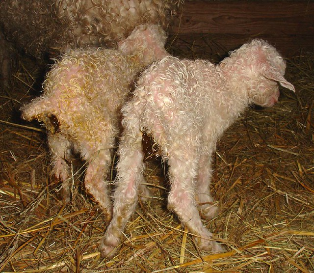 4 day old lamb not pooing??? | permaculturenews