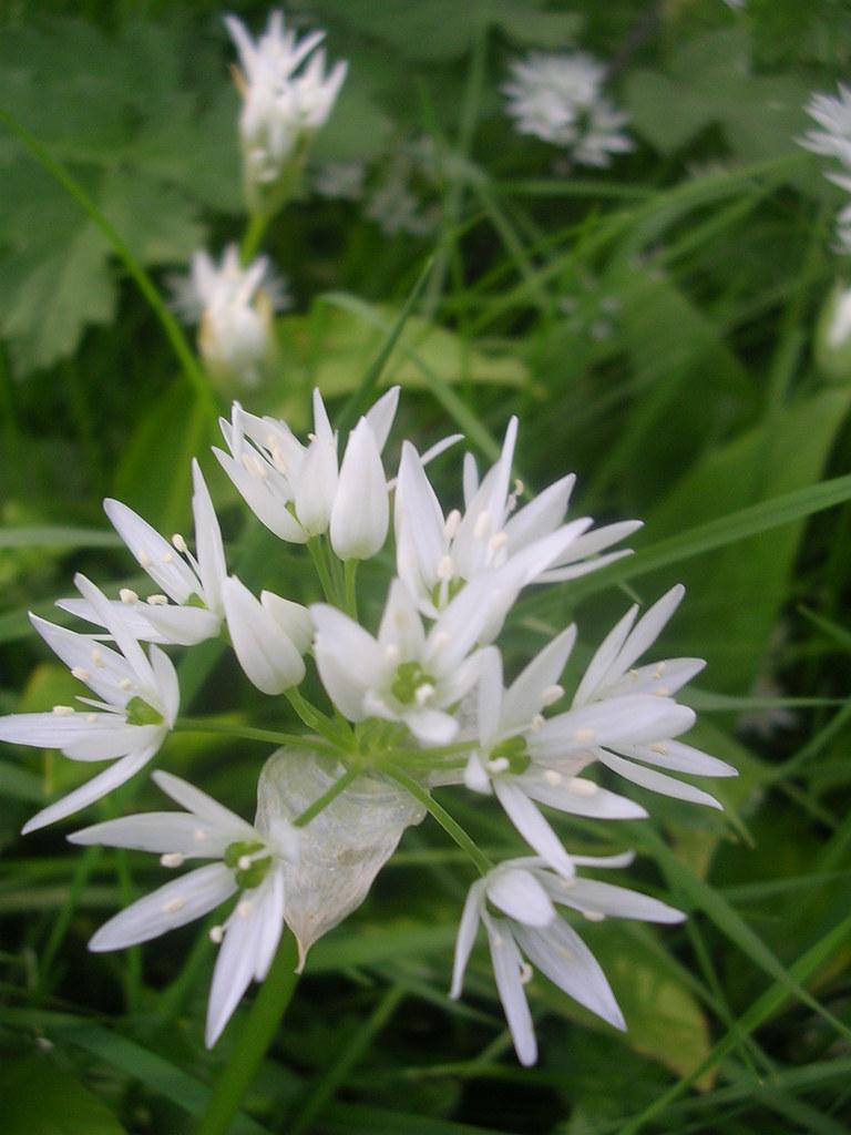 Wild Garlic Wye Circular