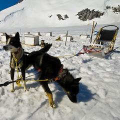 dog(1.0), winter(1.0), vehicle(1.0), snow(1.0), pet(1.0), mushing(1.0), dog sled(1.0), sled dog racing(1.0), sled dog(1.0), sled(1.0),