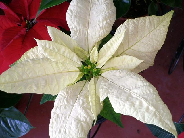 White Euphorbia pulcherrima (Poinsettia)