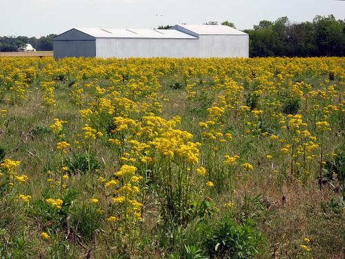 illinois spring backroads missingspring butterweed yellowweeds scenicsnotjustlandscapes joyofdrivingonbackroads