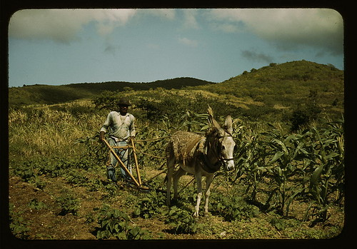Farm Security Administration borrower plowing his garden with one of the few plows used on the island, vicinity of Frederiksted, St. Croix, Virgin Islands  (LOC)