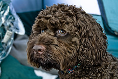 toy poodle, miniature poodle, dog breed, animal, dog, schnoodle, pet, lagotto romagnolo, mammal, poodle crossbreed, cockapoo, portuguese water dog, spanish water dog, cavapoo, barbet, american water spaniel,