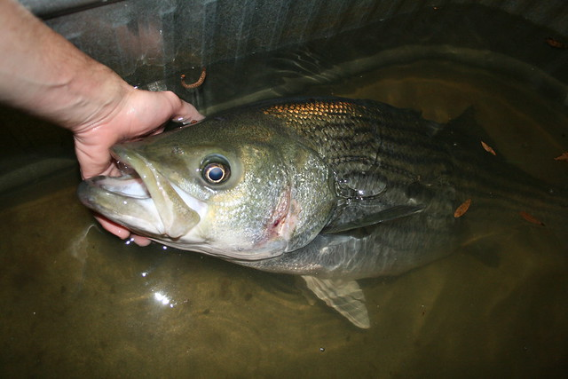 Striped Bass - Arkansas Striper Fishing - ArkansasStripers.com