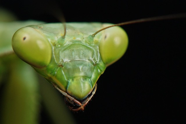 how to tell sex of praying mantis