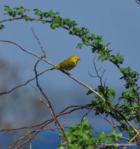 Yellow Warbler by robert.rinkel