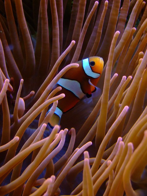 Clownfisch/ Anemonenfisch (cc) from Flickr via Wylio