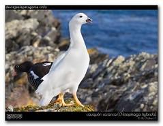 cauquén caranca / kelp goose