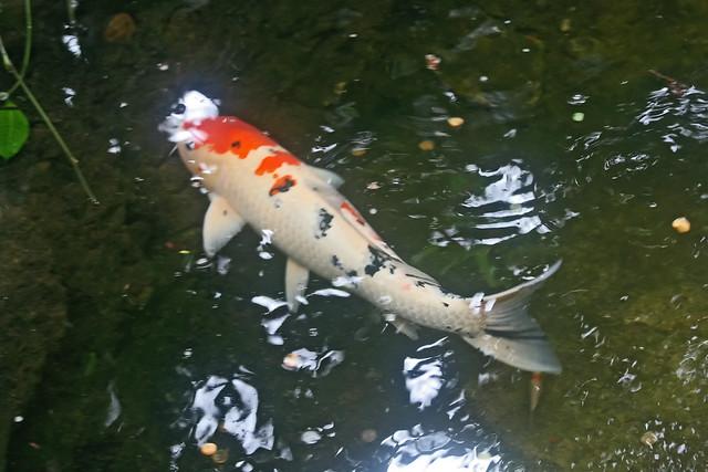 ornamental carp flickr photo sharing