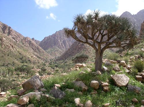 Dracaena ombet, Elba, Egypt