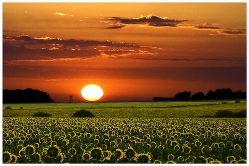 argentina sunrise landscape paisaje amanecer sunflowers entrerios gualeguaychu girasoles fineartphotos abigfave perfectangle abigfabe qcfaj landscapesofvillagesandfields paisajesdepueblosycampos