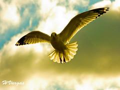 Gulls Angel