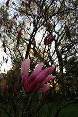 flower, branch, magnolia, leaf, tree, plant, nature, flora, spring, pink, petal,