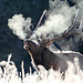Bull elk bugling on a frosty morning in Canyon area by YellowstoneNPS