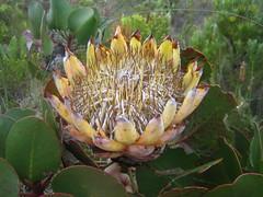 flower, leaf, plant, flora, protea, proteales,