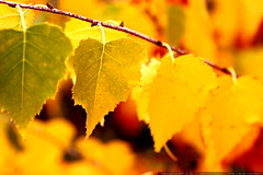 autumn leaves    MG 6038