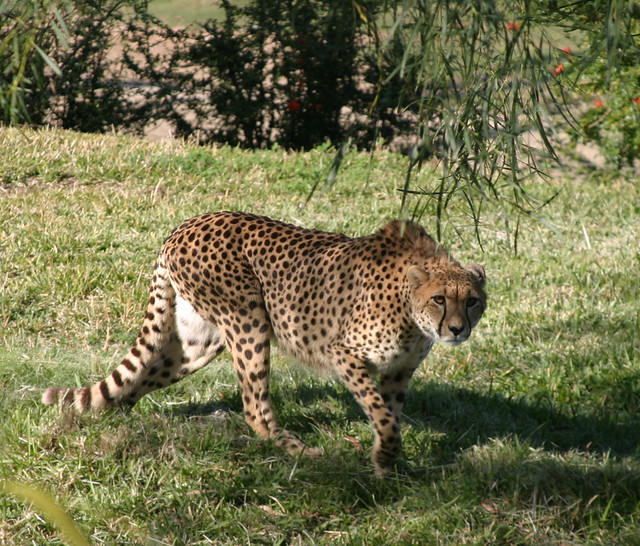 Jaguar Running: Jaguar On The Run, San Diego Wild Animal Park