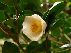 blossom(0.0), camellia japonica(0.0), camellia sasanqua(1.0), flower(1.0), yellow(1.0), plant(1.0), nature(1.0), macro photography(1.0), flora(1.0), theaceae(1.0),