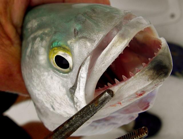 Bluefish teeth... keep away... | one fish two fish ...